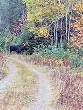 Male Moose in Brush