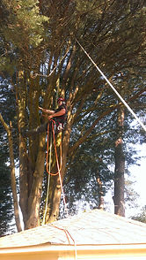 Tree Surgery Dorset - removing lower branches over a summer house.