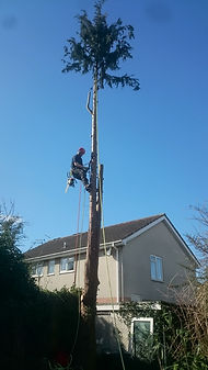 Removing Tree Dorset