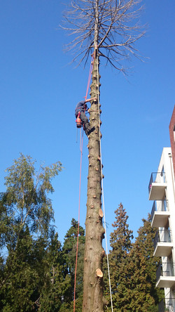 Felling a tree in Dorset