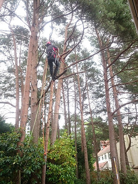 Removing deadwood from a Pine tree in Dorset