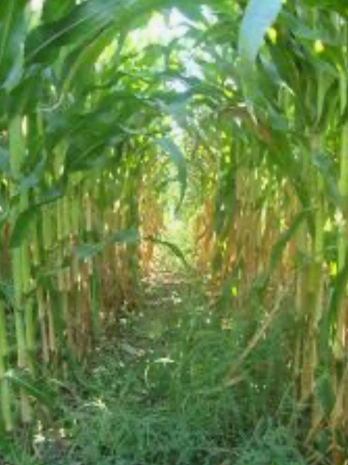 Corn Maze Children Under 5 (day)