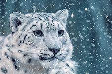 snow leopard.jpeg