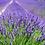 Thumbnail: Lavender Body Oil and Massage Oil - Provence Lavender Oil