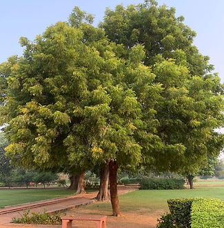 Neem%20Tree-3%20(1)_edited.jpg