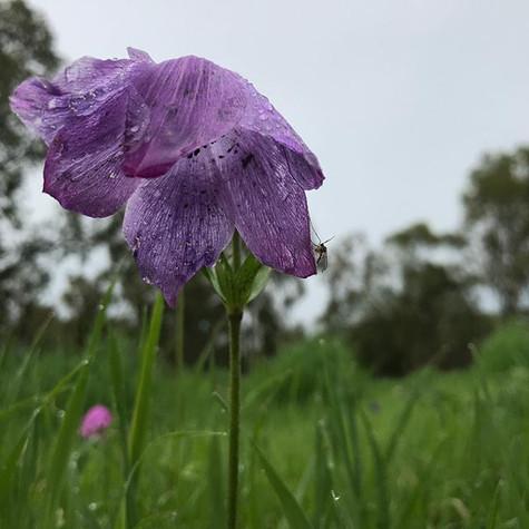 ״יופי אינו סגולה לאושר,_הוא יכול להכאיב״,_כך אמרו לך עם בוא האביב. את זקפת קומתך_ומראך המרהיב,_לא רצית להקשיב.jpg