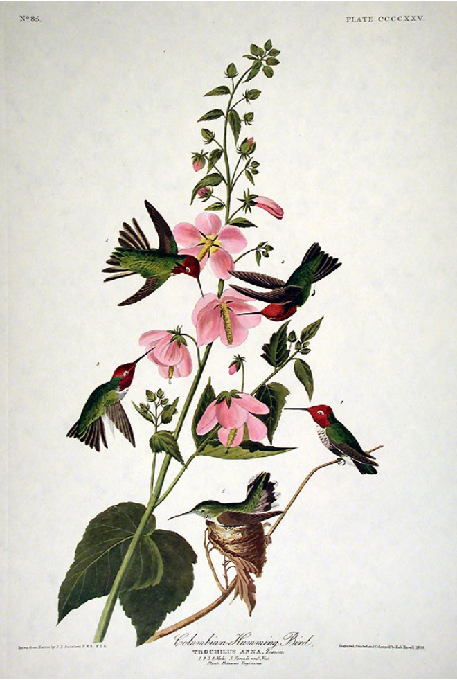 hummingbird study painted by john audobon