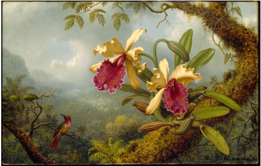 calypte anna or anna's hummingbird pictured with orchids painted by Martin Johnson Heade