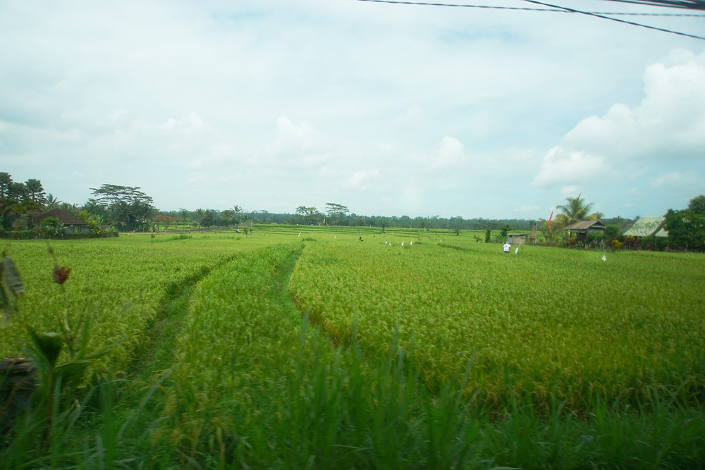 One of the numerous rice paddies that we saw while driving through the island