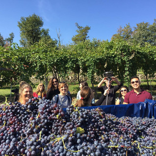 Harvesting in Valpolicella!