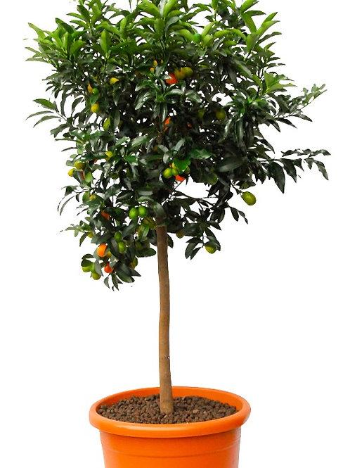 Kumquat Alberetto