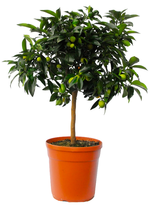 Kumquat Cespuglio