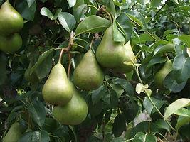 pears-1621362.jpg
