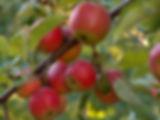 apple-1327789-1279x957.jpg