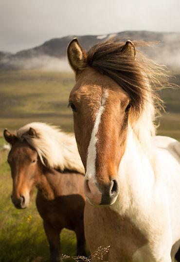 Wild Icelandic Horses_edited_edited.jpg