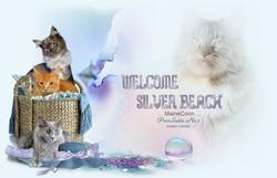 Silver Beach MaineCoon