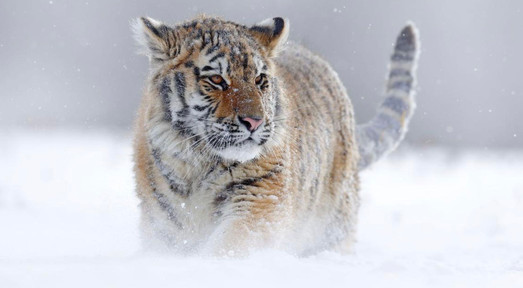 Seven Worlds One Planet siberian tiger