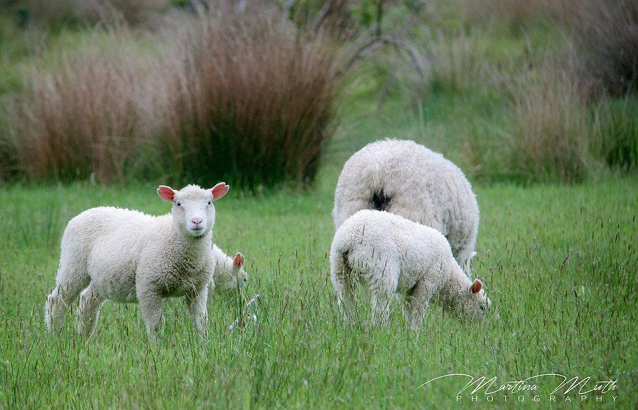 Schafe Neuseeland