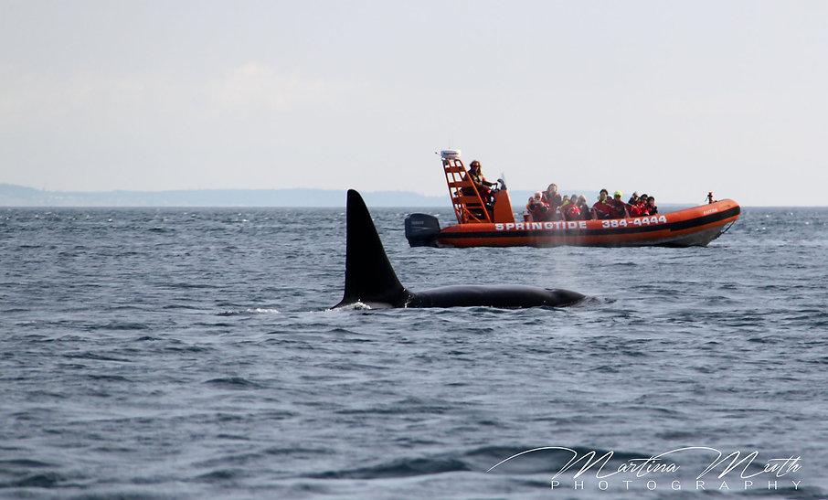 Orcas at Salish Sea