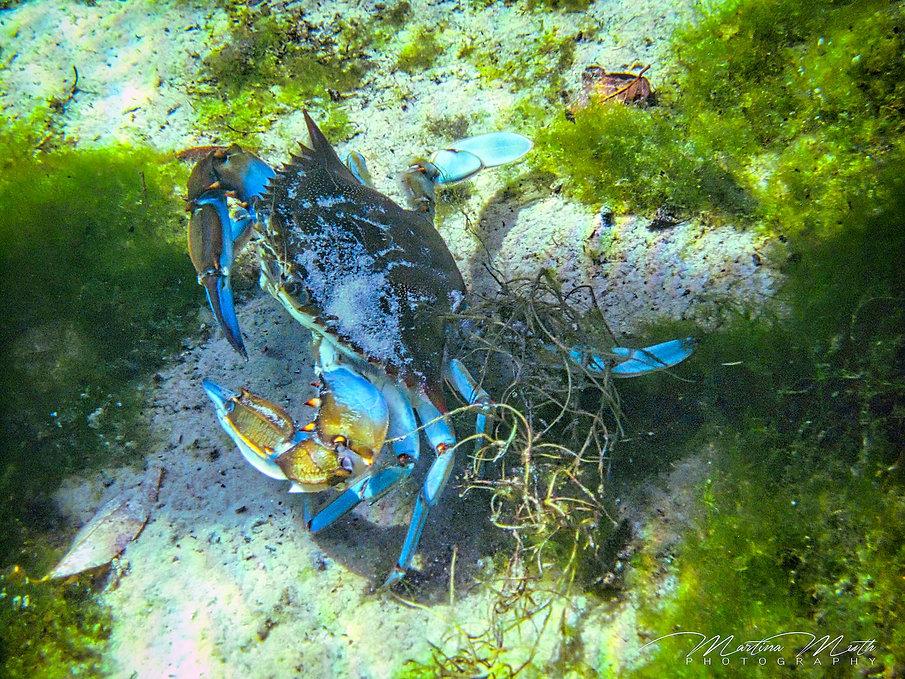 Blaukrabbe in der Kings Bay