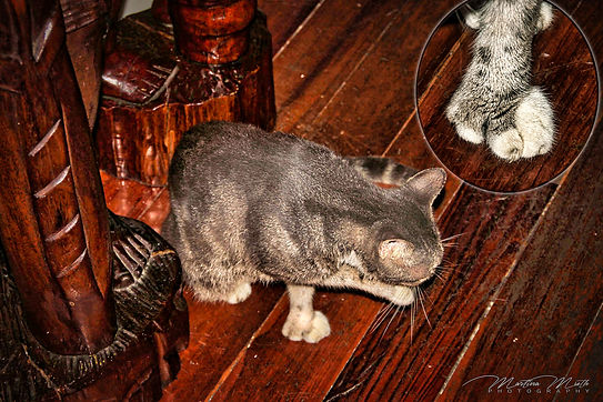 polydaktylen Hemingsway Katze