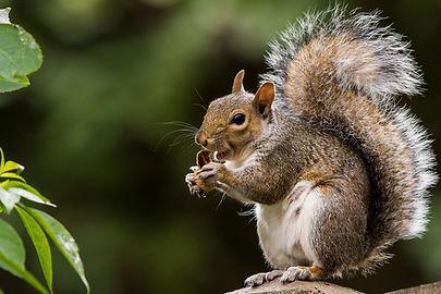 Squirrel removal in Virginia