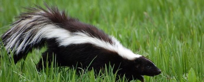 Skunk removal Virginia