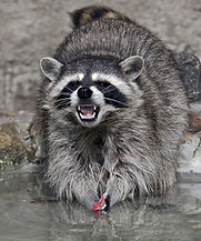Raccoon trapping in Virginia