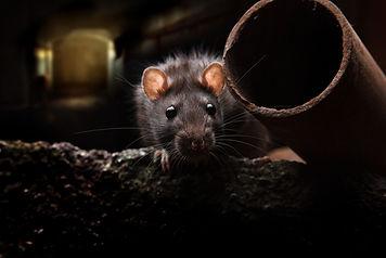 rat removal virginia