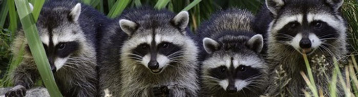 raccoon removal in virginia