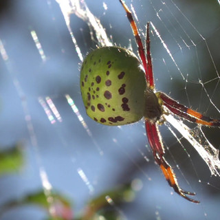molinaranea magellanica.mp4