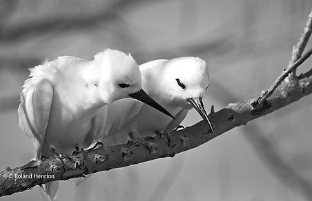 Fairy terns, photo by Roland Henrion