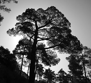 Pine silhouette, Cyprus, photo by Roland Henrion