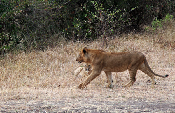 Na mira da leoa