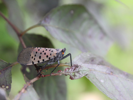 The Spotted Lanternfly in Southeastern Pennsylvania