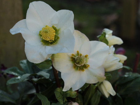 The Gorgeous, Time Travelling, Sullen Christmas Rose