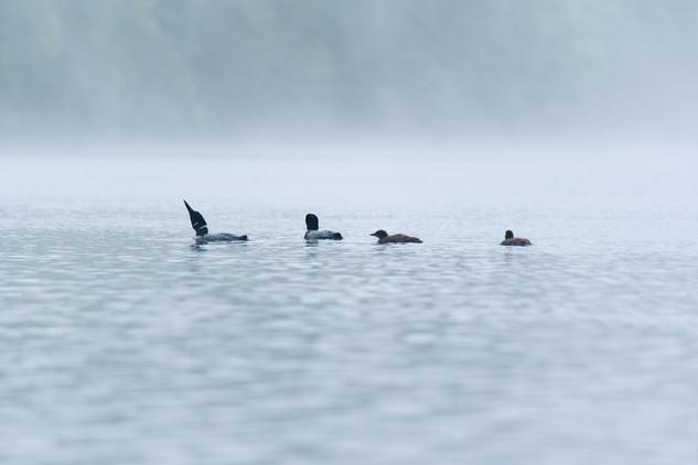 Loons in Fog