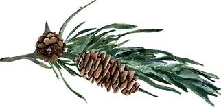 Pinecone%20stem%201_edited.png