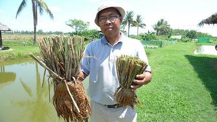 More tillers more rice.jpg