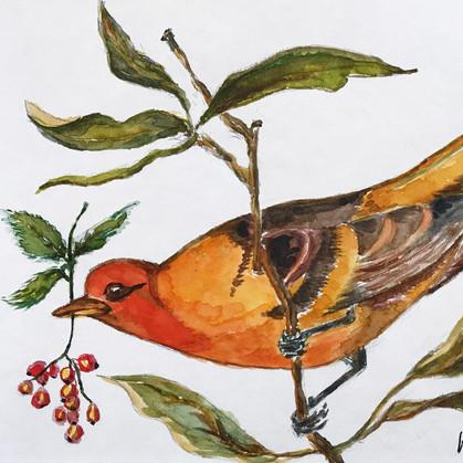 Orange Finch