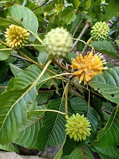 kratom plant pic 2.JPG