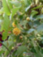 kratom plant pic 1.JPG