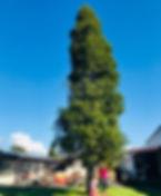 Kauri Tree.jpeg