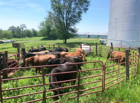 How and why do we work cattle?