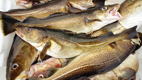 Faroese Fisheries achieves MSC certification for cod & haddock