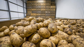 Potato prices look set to rise next year