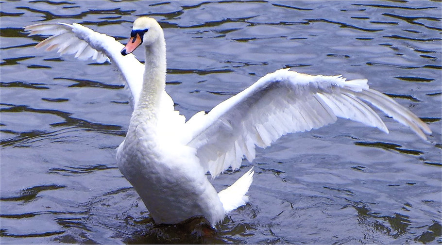 swan-on-the-river-avon_edited_edited.jpg