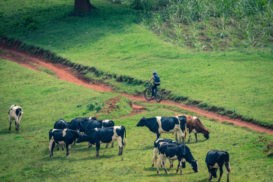 SansaTravel_MTB_cows.jpg