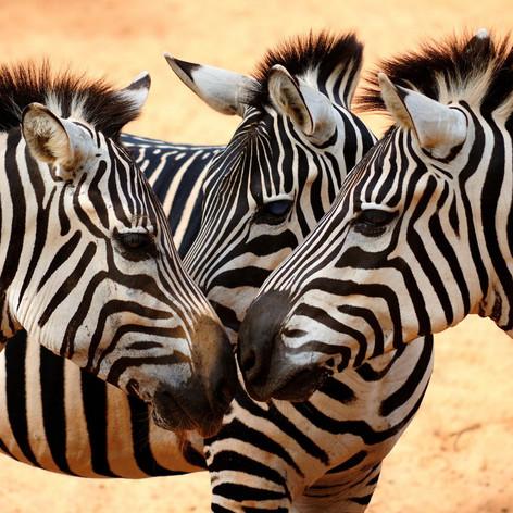 zebras-animals.jpg