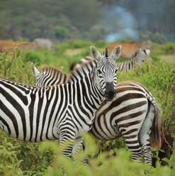 Kenya_Zebra_Safari.jpg